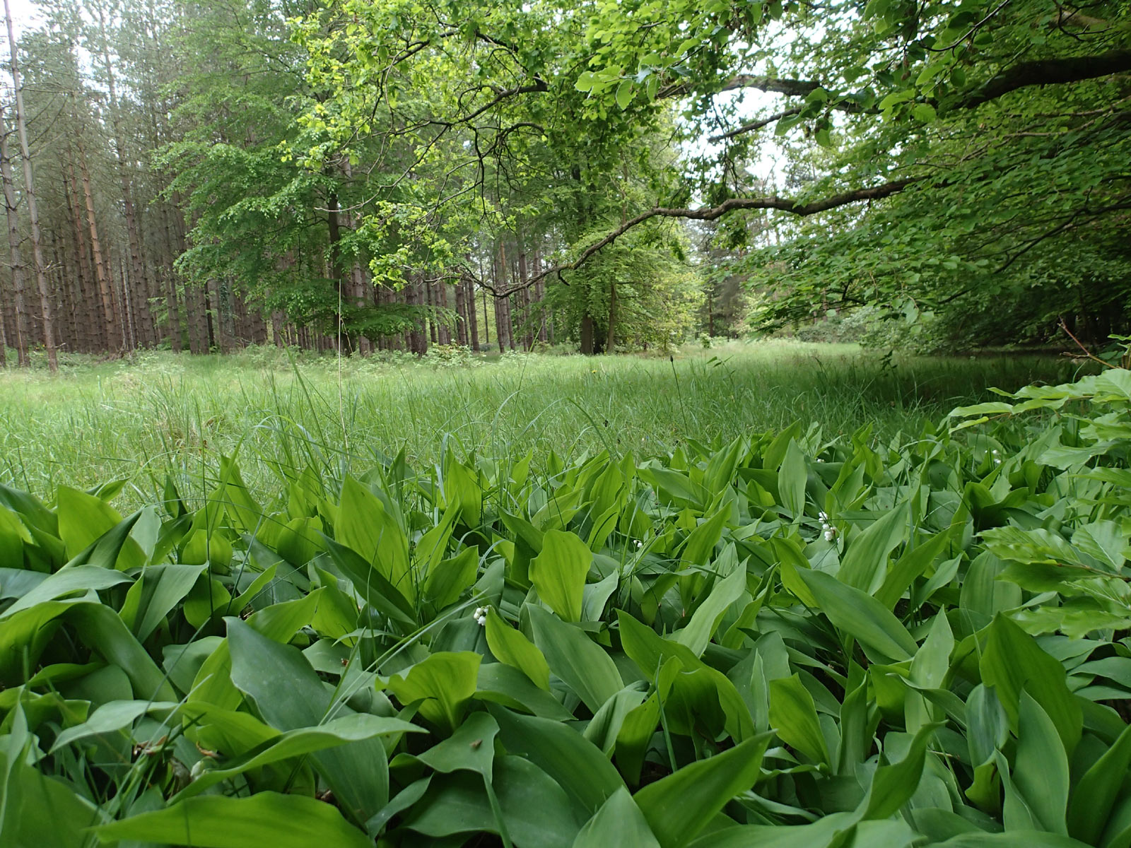 Lily of the Valley under beech and pine trees