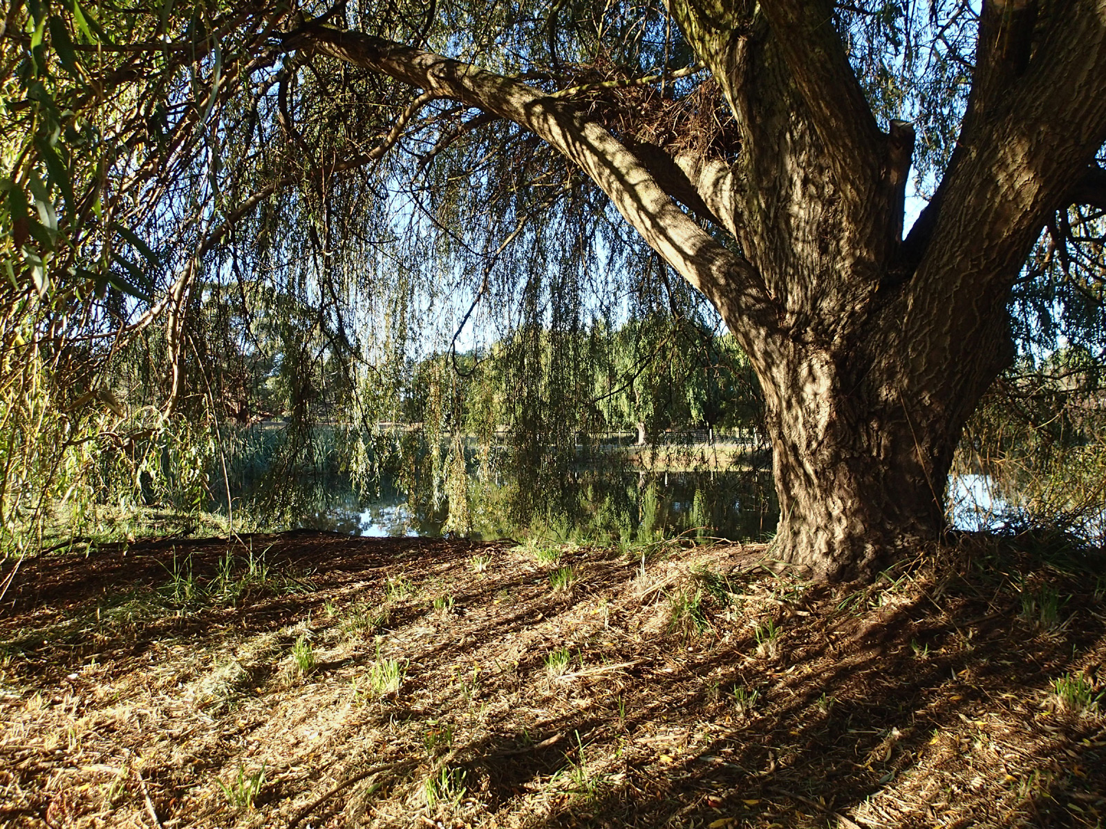 weeping willow tree with the pond and shadows