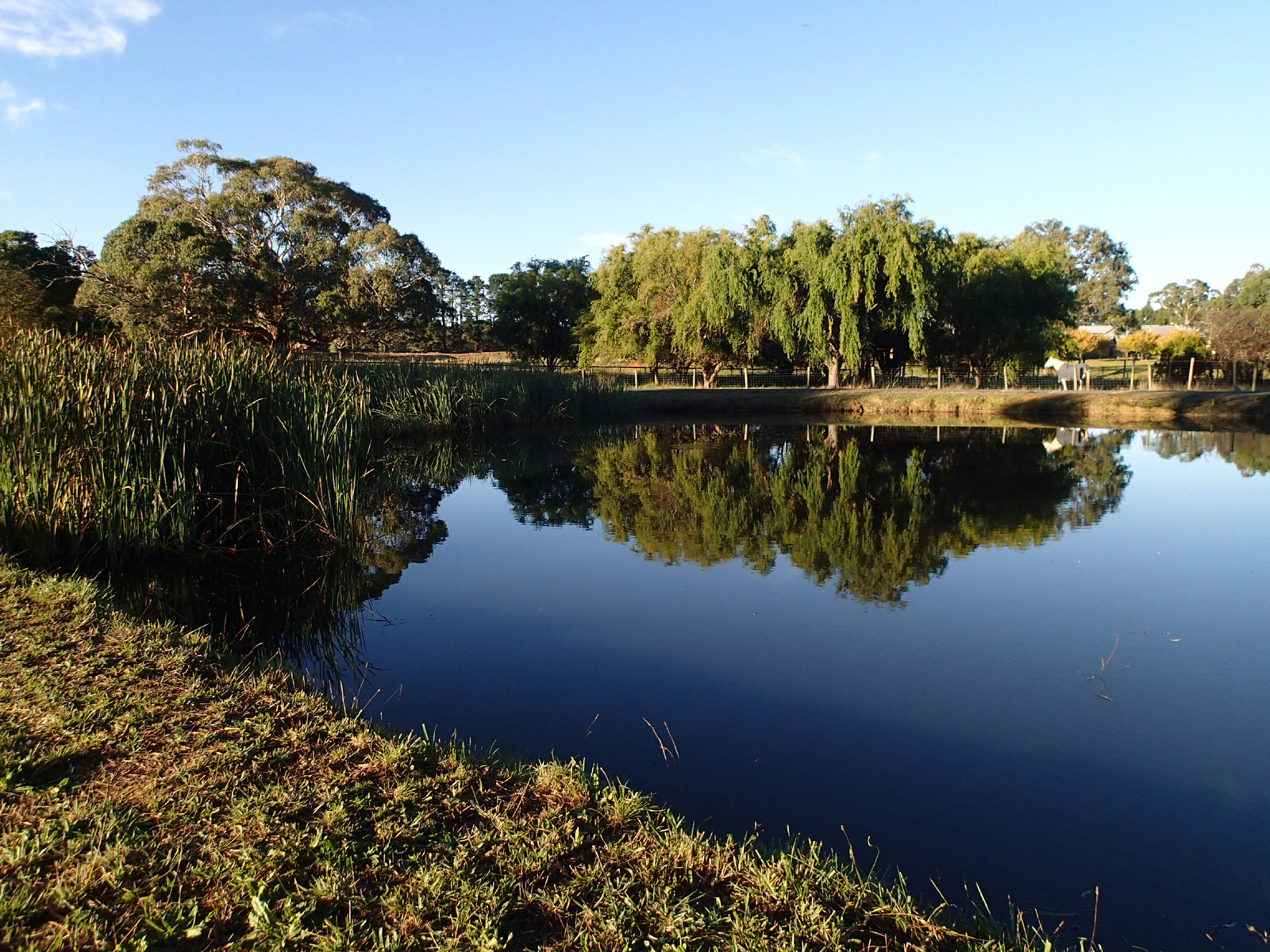 Pond in bright sunshine with reeds, trees and a horse reflected in still water