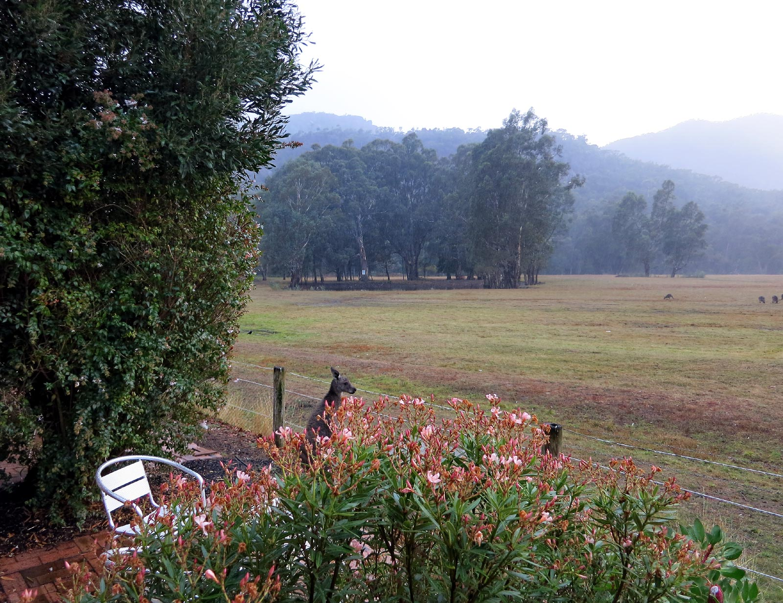 Kangaroos nearby and in distance, and rainy hills