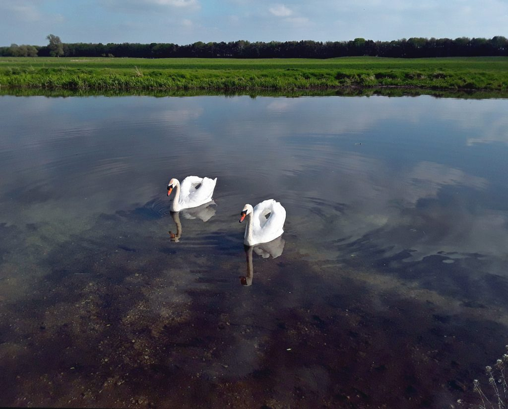 2 swans in the river