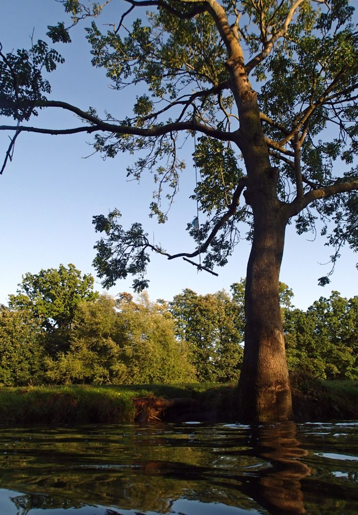 Ash tree and rope swing