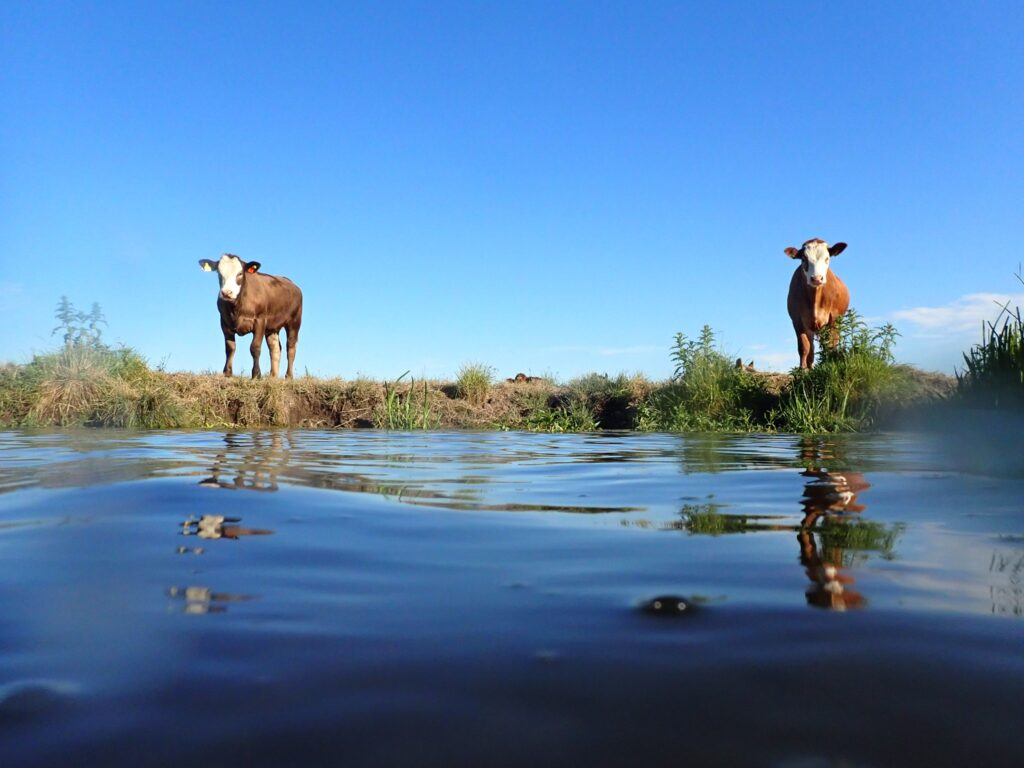 two cows reflected in a river